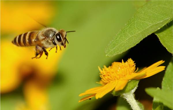 Arılar nesli tükenmekte olan canlılar listesinde