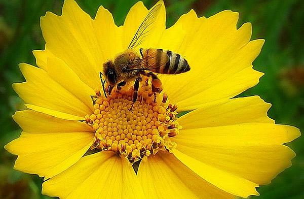 Laboratuvar ortamında sokmayan arı yetiştirildi