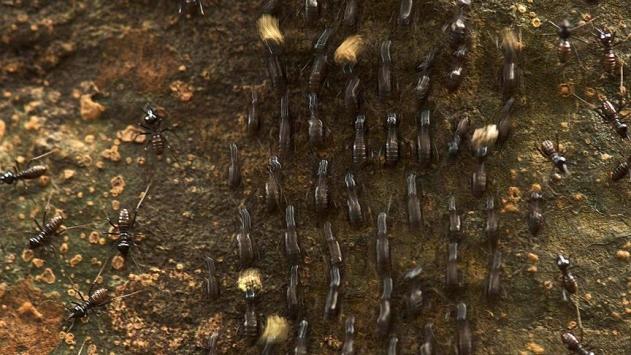 'Küresel istila potansiyeli' taşıyan karınca türü keşfedildi
