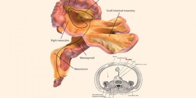 """İnsan vücudunda keşfedilen yeni organ: """"Mezenter"""""""