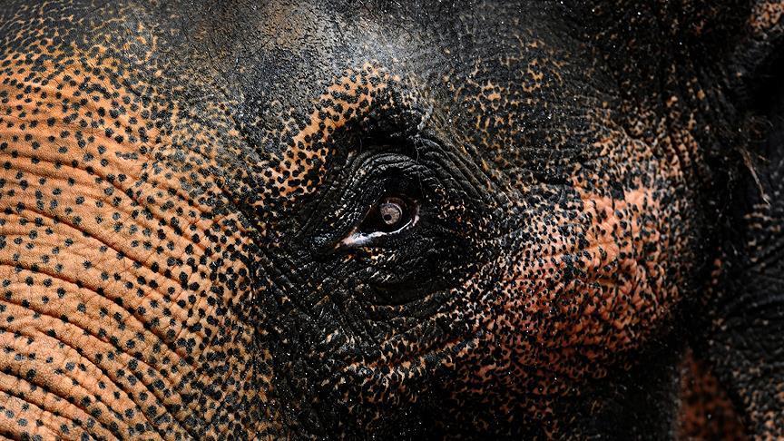 Dünyanın en yaşlı fillerinden Indra öldü