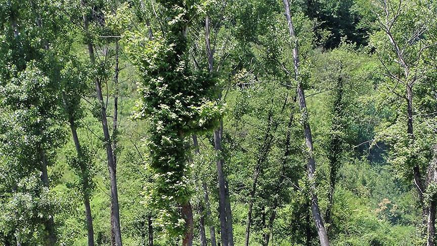 Yeryüzünde 60 binden fazla tür ağaç var