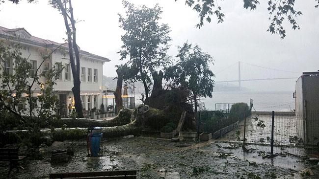 Şiddetli yağmur tarihi çınarı devirdi