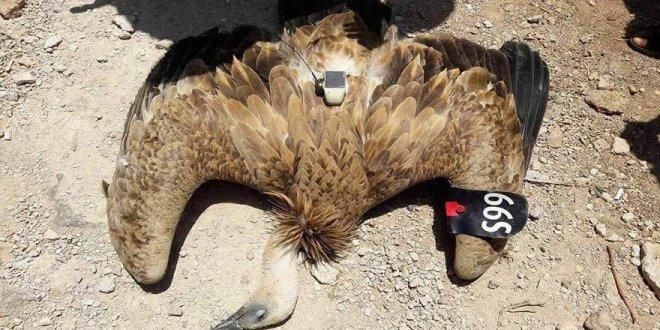 Soyu tükenmekte olan kuşu casus diye vurdular
