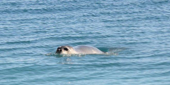 Konyaaltı Plajı'nda 'Akdeniz foku' heyecanı