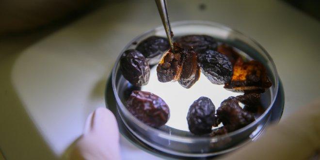 Hurma zeytininin gen haritası çıkarıldı