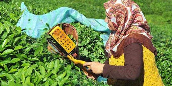 Çay üreticilerine kötü haber
