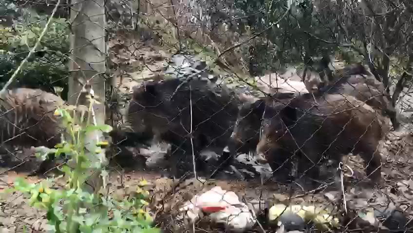 İstanbul Sarıyer'de görülen domuz sürüsü korkuttu