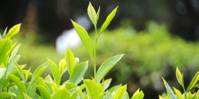 Türk beyaz çayından kanser ilacı