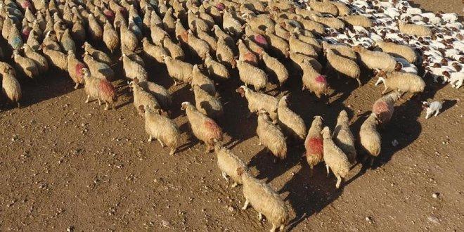 300 koyun projesi başlıyor