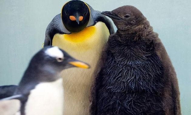 Kral penguenlerin nesli tükeniyor