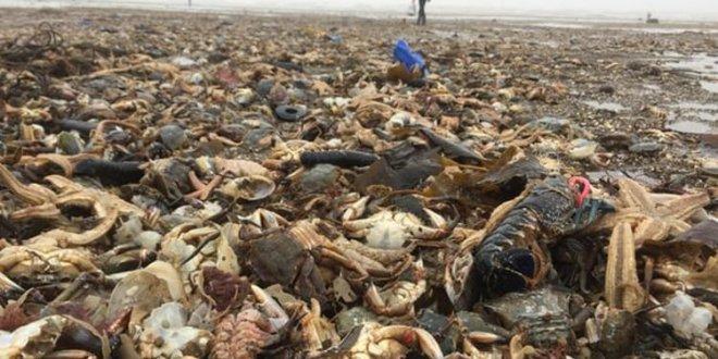 On binlerce deniz canlısı sahile vurdu