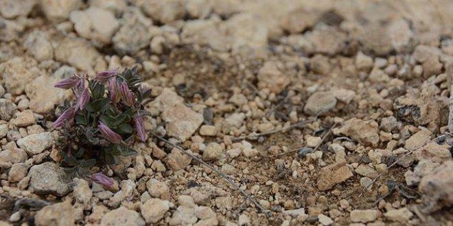 Keşfedilen endemik bitki türüne Sancar'ın ismi verildi