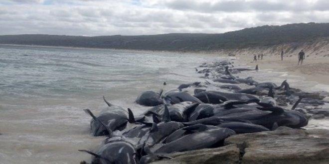 150 balina kıyıya vurdu