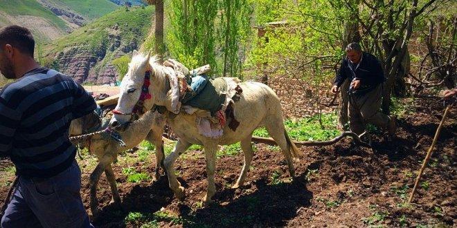 Mazot fiyatı artınca, çiftçi çareyi at ve eşekte buldu!