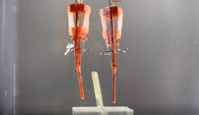 Laboratuvarda üretilen kaslarla biyorobot yapıldı