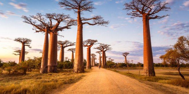 Binlerce yıl yaşayabilen ağaçların ani ölümü şaşırttı