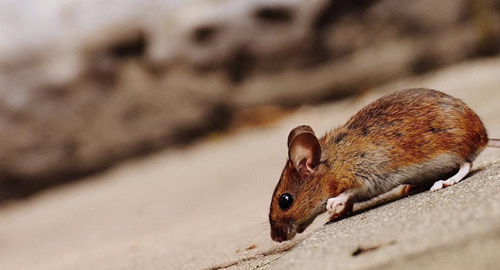 İsveç şehri dev farelerin istilasına uğradı