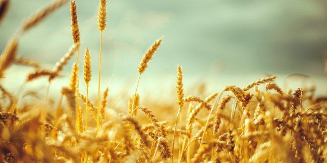Buğday çiftçisini düşük fiyat ezdi