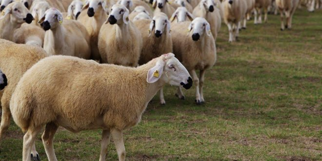 İthal koyunlarda veba korkusu!
