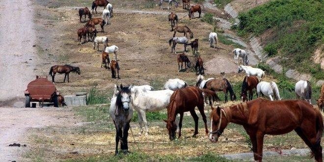 Büyükada'ya alınmayan 222 at hakkında karar