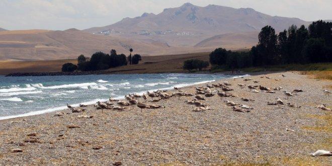 Van Gölü kıyısına martı ölüleri vurdu