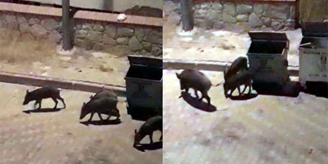 Muğla'da domuzler ilçe merkezine indi
