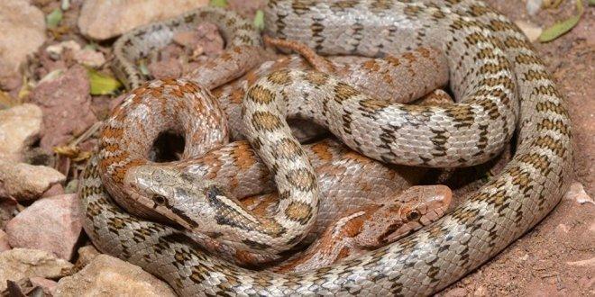 Keşfedilen yeni yılan türüne o isim verildi