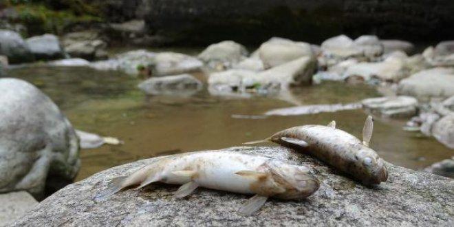 Çaykara'da toplu balık ölümleri