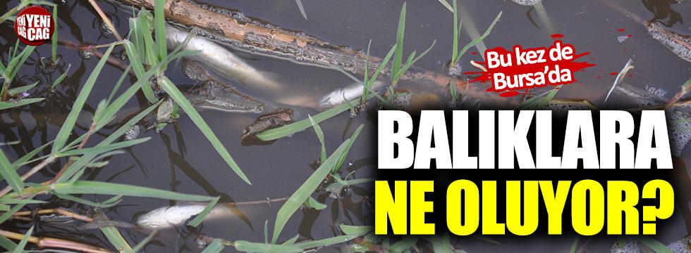 Bursa'da toplu balık ölümü