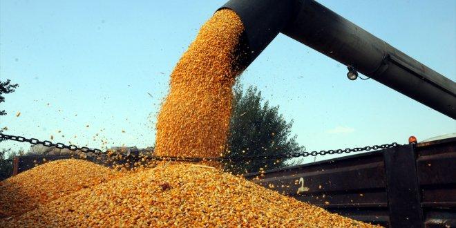 Yerli tohumdan ilk mısır hasadı