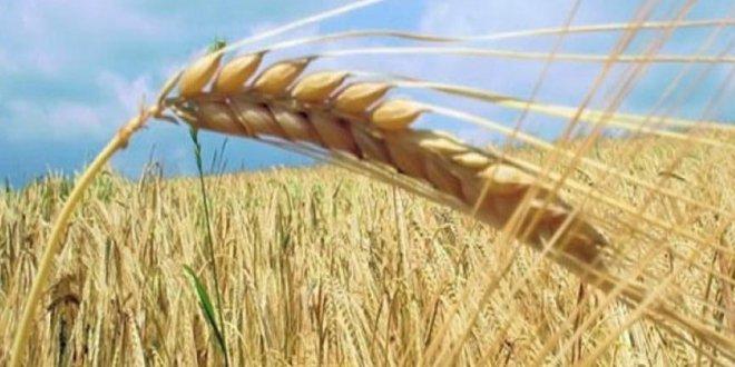 TMO tonlarca buğday ithal edecek