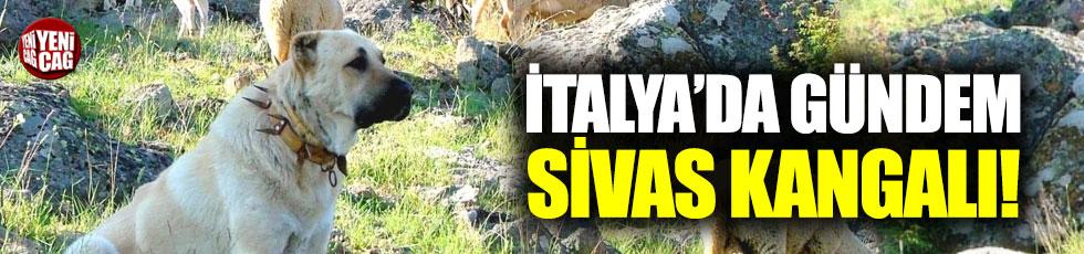 İtalya'da gündem Sivas Kangalı