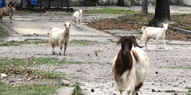 176 yıllık fabrikada keçiler otluyor