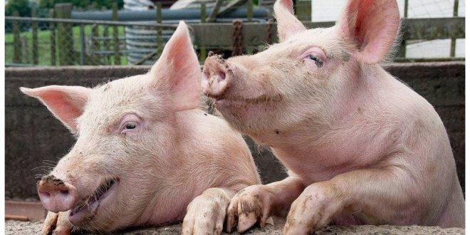 Ukrayna'da yapay domuz yağı icat edildi