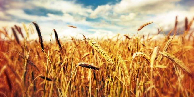 Türkiye, Rusya'dan Ruble ile buğday ithal edecek