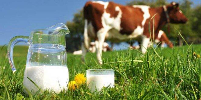 Süt hayvanları kesime gönderiliyor