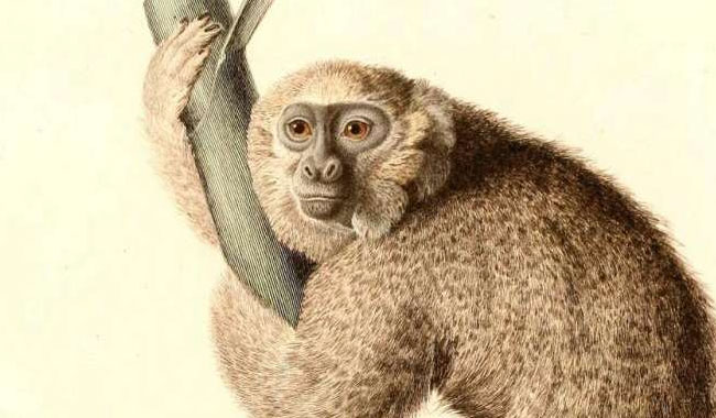 Jamaika maymunu, 11 milyon yıl önce Güney Amerika'dan gelmiş