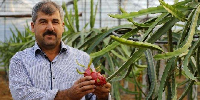 Domates, biberden para kazanamayınca ejder meyvesi işine girdi!