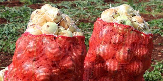 Tonlarca soğan çürümeye terk edildi