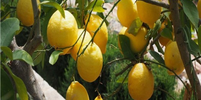 Limon fiyatlarına depoda 'çürüme' etkisi