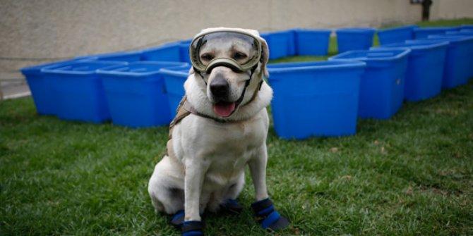 Ünlü Meksikalı kurtarma köpeği emekli oldu