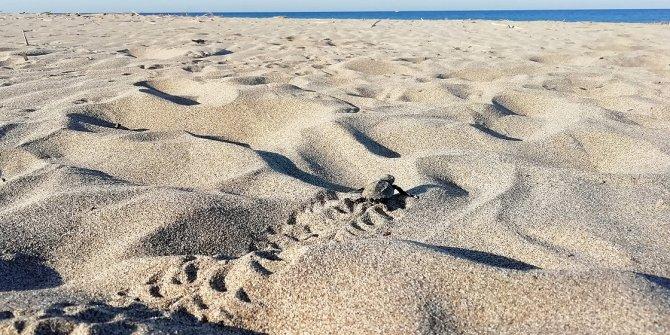 Patara kumsalı carettalara da ev sahipliği yapıyor
