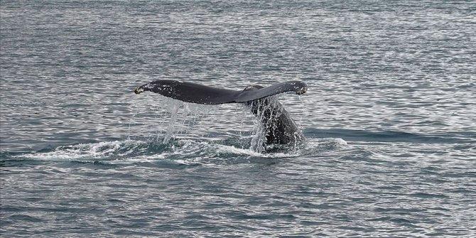 Dişi çubuklu balinalar yavrularına 'fısıldıyor'