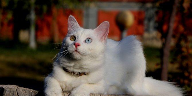 Van kedileri, uluslararası güzellik yarışmasına götürülecek