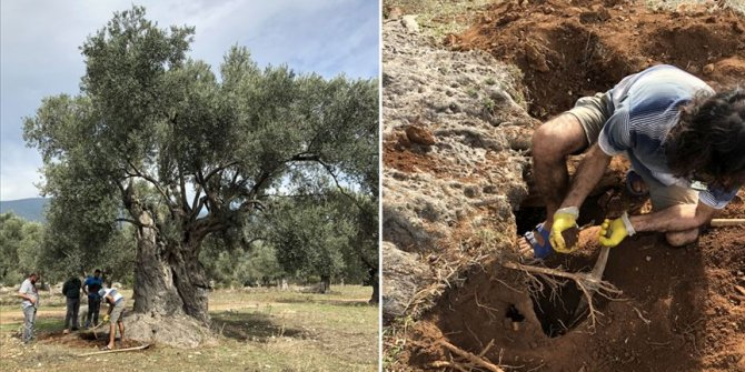 3 bin yıllık ağacın sırrı böyle çözüldü!