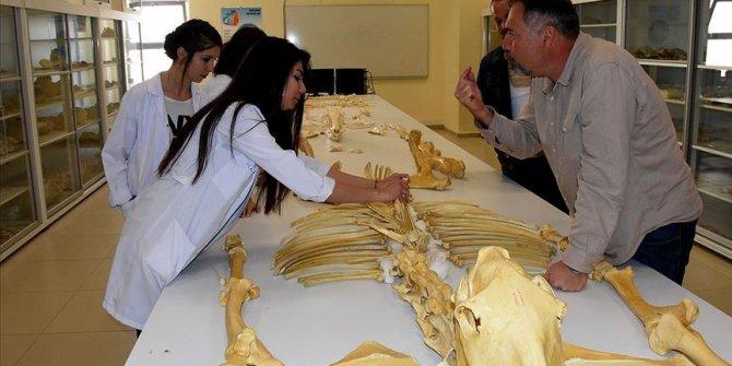 2 bine yakın hayvan fosili gün yüzüne çıkarıldı