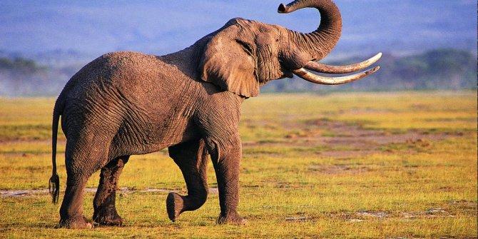 Kanserin tedavisi fillerin genetiğinde saklı olabilir
