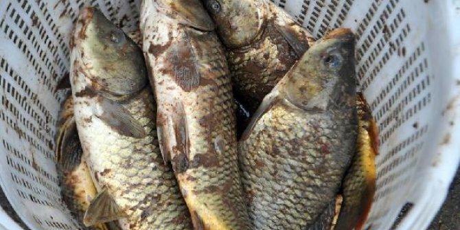 Nehirdeki ölü balıkları evlerine götürdüler