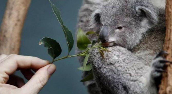 koalalarin-nesli-tukeniyor.jpg